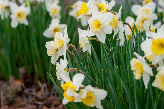 2015-03-20-1426820178-5721734-FlowerWhiteandyellowButtercups9564.jpg