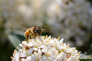 2015-03-23-1427138815-4033434-honeybee320px.jpg