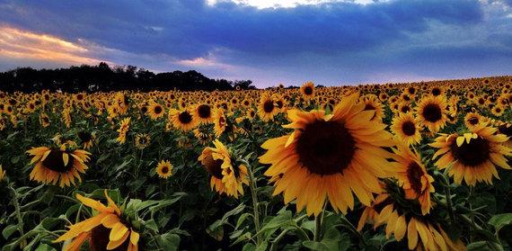 2015-03-24-1427224030-1538982-SunflowersMaryland.jpg