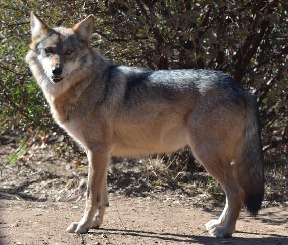2015-03-25-1427249985-4434511-TCW_5.2_Eisenberg_Mexican_Gray_Wolf.jpg