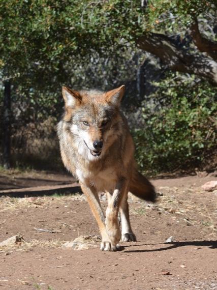 2015-03-25-1427250789-1179060-CWC_Wolf.jpg