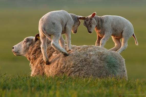 2015-03-25-1427280309-8650968-leaping_lamb.jpg