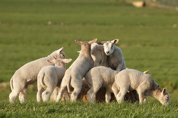 2015-03-25-1427280370-9034442-spring_lambs.jpg