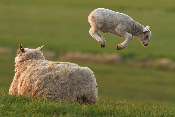 2015-03-25-1427280625-1952275-levitating_lamb.jpg