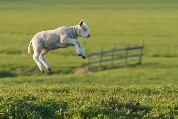 2015-03-25-1427280678-4654476-leaping_lamb1.jpg