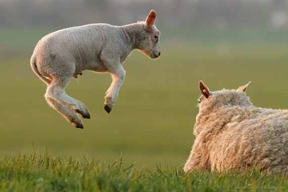 2015-03-25-1427280716-7775670-lamb_leaping.jpg