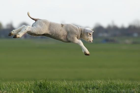 2015-03-25-1427280780-7015015-lamb_jump.jpg