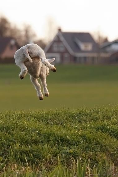 2015-03-25-1427280819-427102-lamb_leap.jpg
