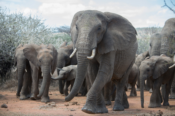 2015-03-26-1427393812-4711343-JulieLarsenMaher_6421_AfricanElephants_KEN_030914.JPG
