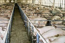 2015-03-27-1427488745-4069981-pigs.jpg