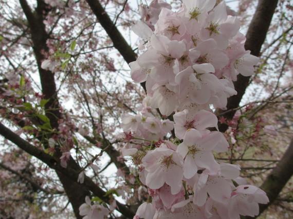 2015-03-30-1427743171-8921621-CherryBlossoms.JPG