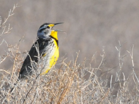 2015-04-01-1427907661-428643-Easternmeadowlark.jpg