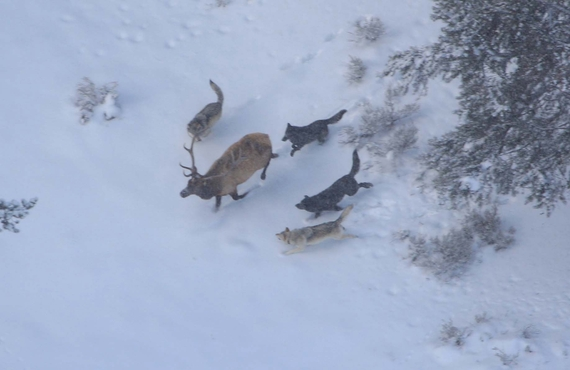 2015-04-07-1428367422-4241970-Wolves_Hunting_Yellowstone.jpg