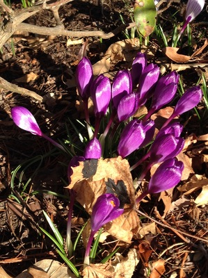 2015-04-07-1428409393-6170059-4515Crocusintheyard.jpg