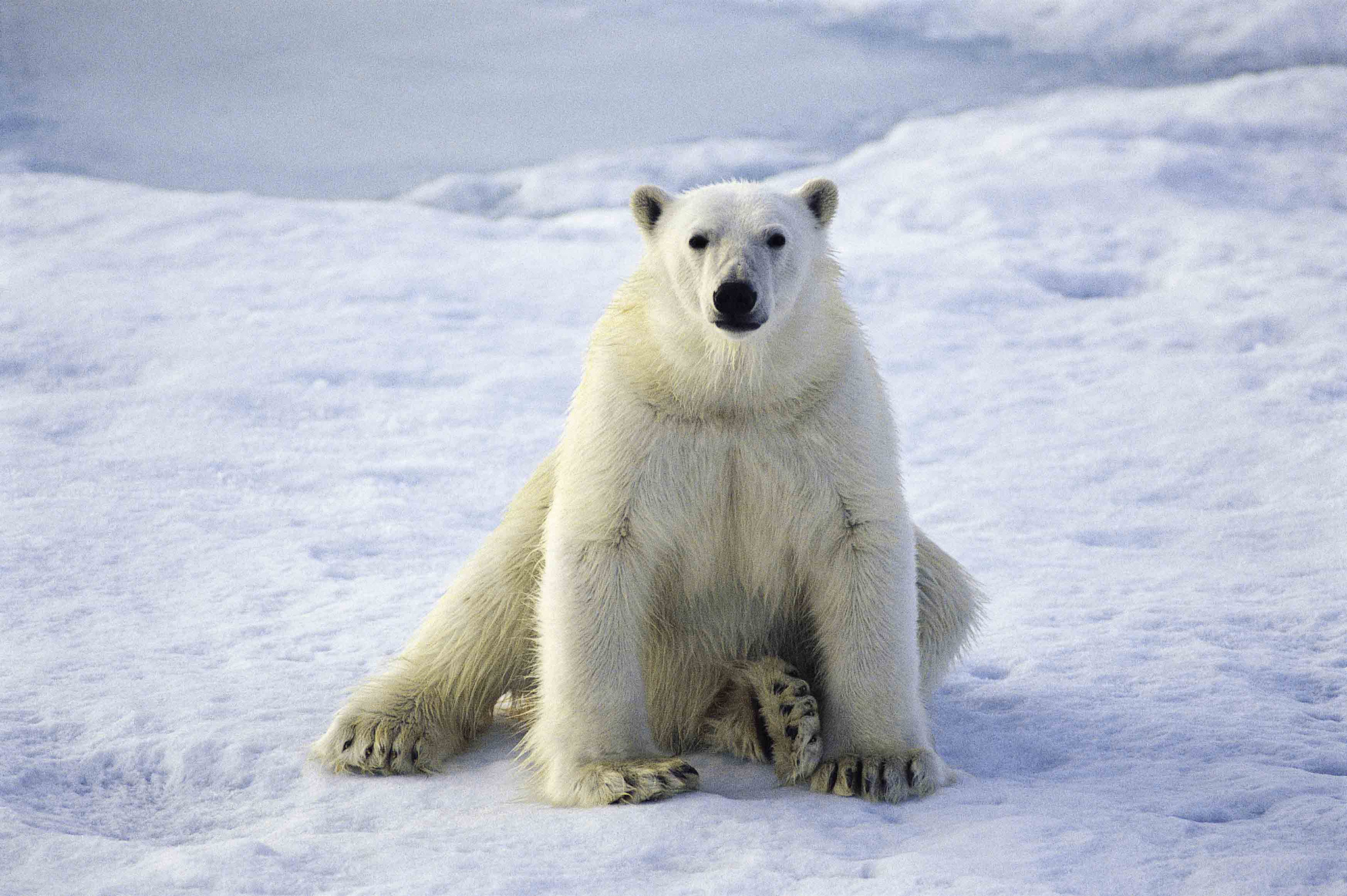 arctic animals north polar bear courtesy