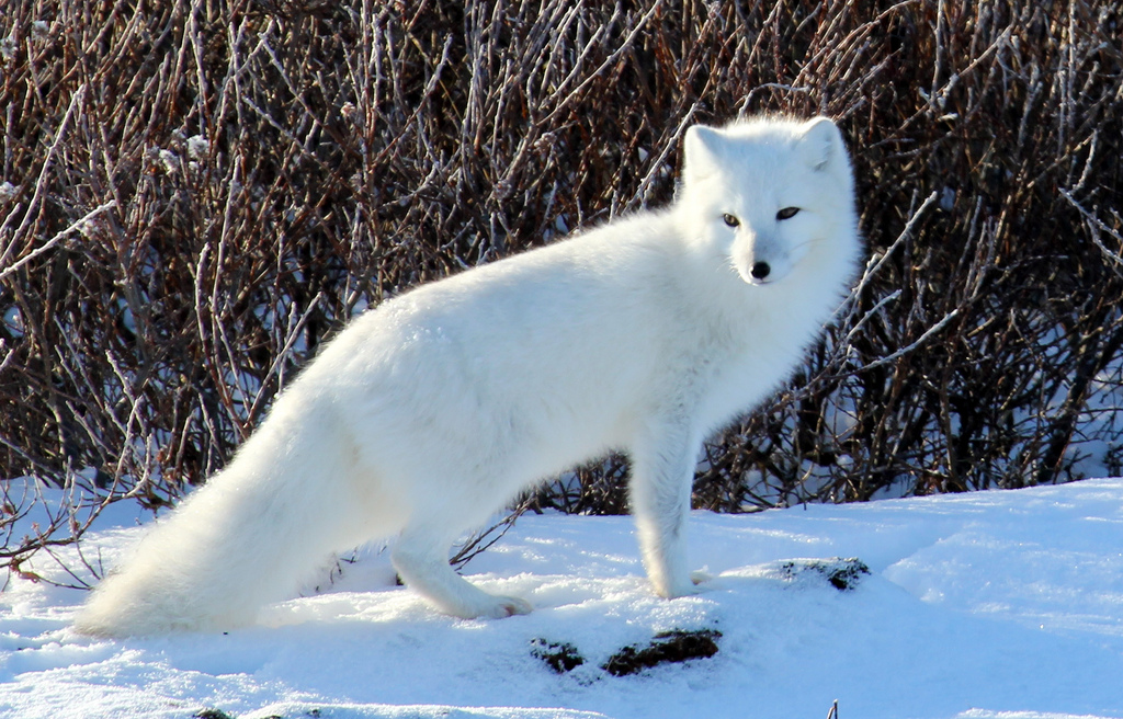 arctic fox animals tundra ecosystem northern north wild climate foxes cold snow its plants quebec facts wildlife flickr iceberg pet