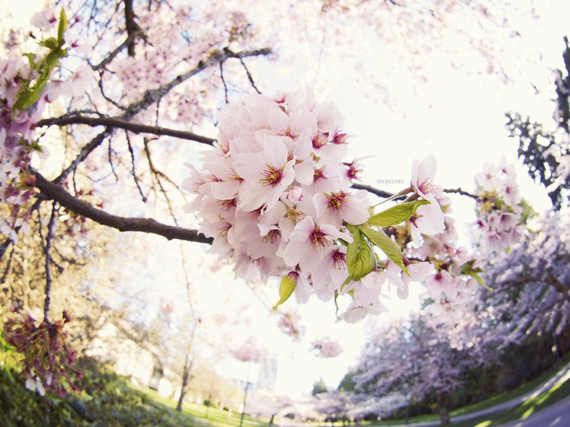 2015-04-13-1428933764-4223782-blossoms_9.jpeg