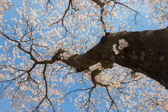 2015-04-13-1428933834-6519214-blossoms_11.jpeg
