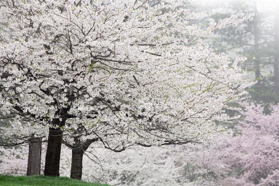 2015-04-13-1428934776-2426147-blossoms_23.jpeg
