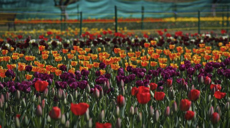 2015-04-14-1429001466-2315399-AhmerKhan_Tulips_1.jpg