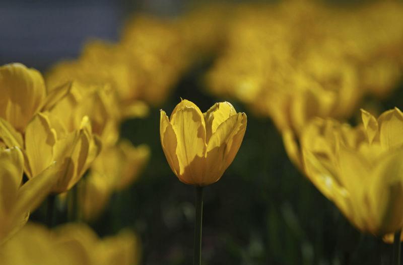 2015-04-14-1429001556-7311013-AhmerKhan_Tulips_5.jpg