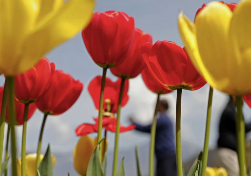 2015-04-14-1429001614-7084693-AhmerKhan_Tulips_6.jpg