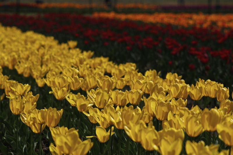 2015-04-14-1429001665-9003339-AhmerKhan_Tulips_8.jpg