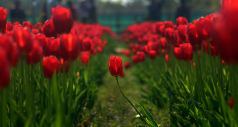 2015-04-14-1429001718-4812936-AhmerKhan_Tulips_11.jpg