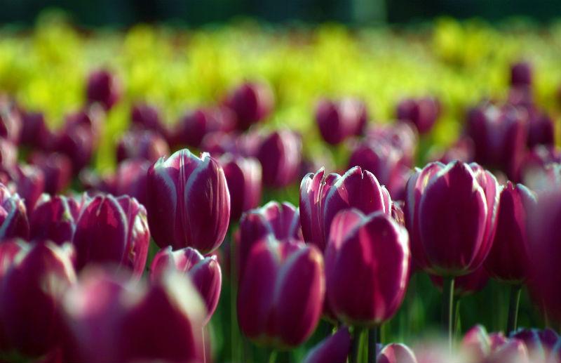 2015-04-14-1429001743-6042093-AhmerKhan_Tulips_13.jpg