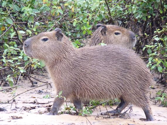 2015-04-19-1429467974-2419696-capybara.JPG