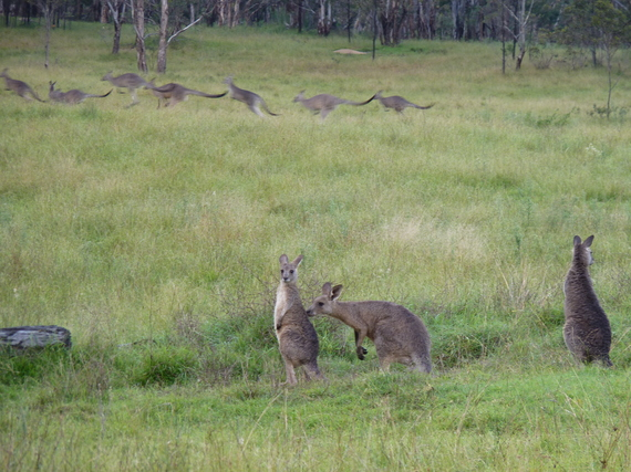 2015-04-19-1429468021-3413368-kangaroos.JPG