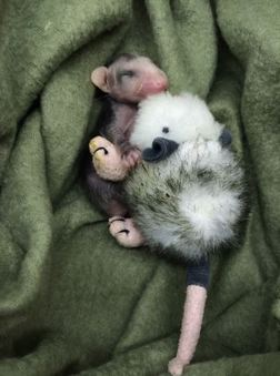 Orphaned baby opossum at WildCare. Photo by Kate Lynch