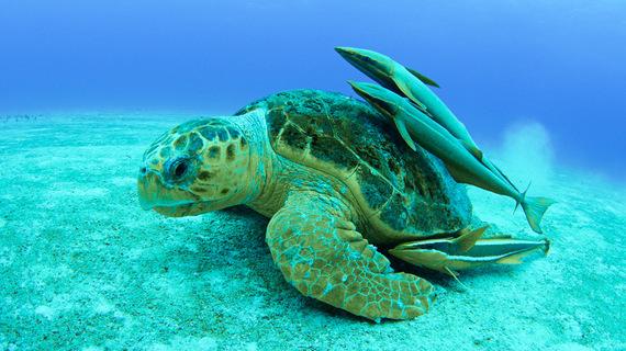 2015-04-21-1429647448-716760-3_BB_OpenWater_Loggerheadseaturtlewithfish.jpg