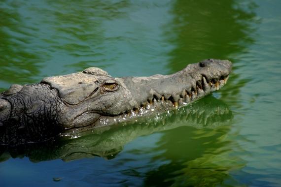 2015-04-22-1429671925-279332-CrocodylusacutusintheWildlifeRefugeMonteCabaniguanOjodeAgua_2_NRossi.jpg