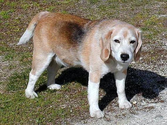 2015-04-27-1430173959-8163137-dogsbeagles_w725_h544.jpg