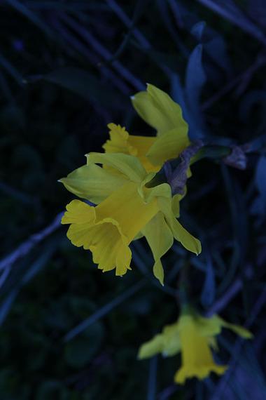 2015-04-29-1430327790-2501953-Daffodil1.jpg