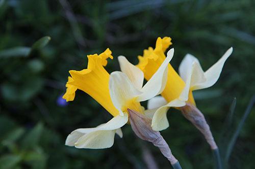 2015-04-29-1430328057-8772970-Daffodil9.jpg