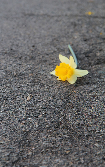 2015-04-29-1430328327-2345470-Daffodil15.jpg