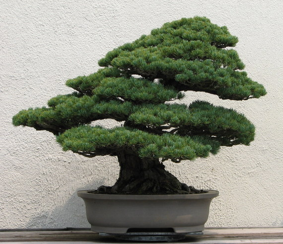 2015-05-05-1430863464-3852796-Japanese_White_Pine_unknown2007.jpg
