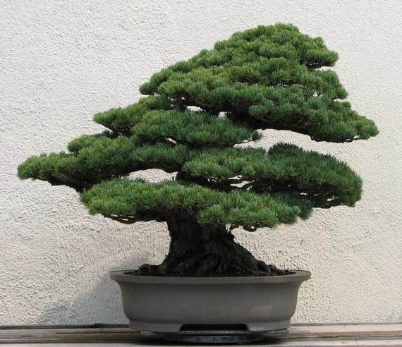 2015-05-05-1430863464-3852796-Japanese_White_Pine_unknown2007.jpg