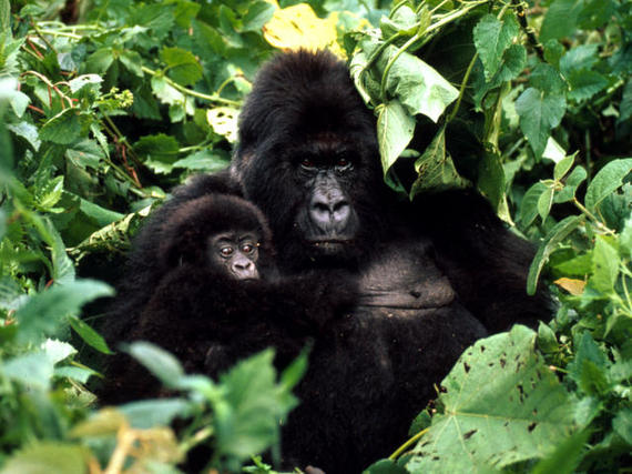 2015-05-05-1430865754-737627-Mountain_Gorilla2.jpg