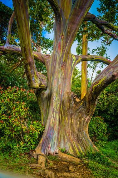 2015-05-07-1431003558-4974710-FinderyMauiHuffPoRubberTrees.jpeg