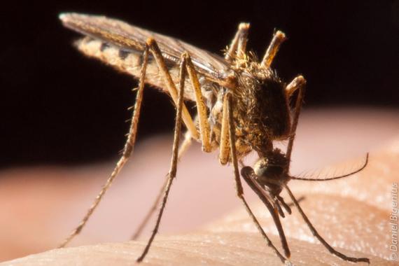 2015-05-12-1431435642-5077299-Foapmacro_close_up_mosquito_blood_sucker_by_bigenius.jpg
