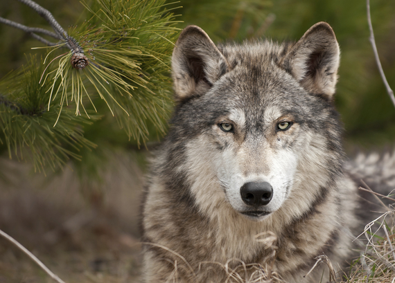 2015-05-17-1431886452-9095899-Wolf_Ponderosa.jpg