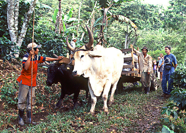 Oxcart on Fairtrade plantation - image by Peter Mulligan