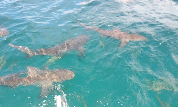 2015-05-24-1432476449-8674905-SharksPhotobyMiriamPorter.jpeg