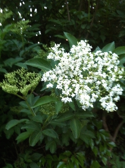 2015-05-30-1433010069-4759885-Elderflower.jpg