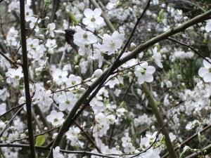 2015-06-02-1433223892-77638-floweringtreeupclose300x225.jpg