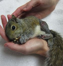 The little squirrel patient nibbles a pecan after coming out of anesthesia post-surgery. Photo by Alison Hermance