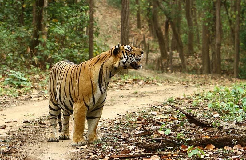 2015-06-16-1434448580-7263858-Tigermale03MukkiKanhaMay2015.jpg
